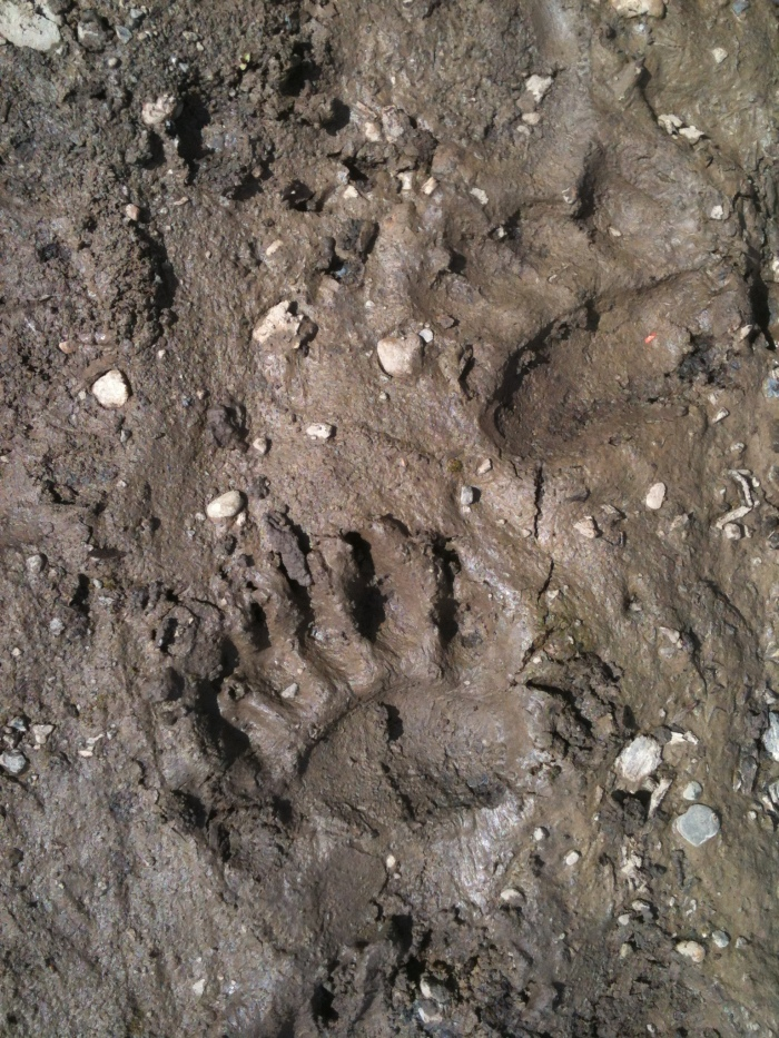 Small grizzly bear tracks on a trail.